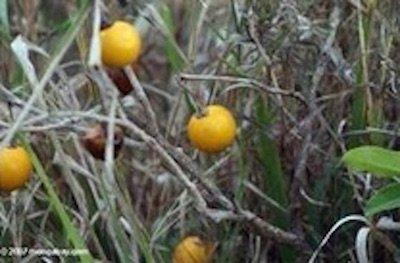 wild-eggplant (1)